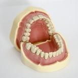 Челюсть с зубами, СQ